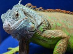 The Full Guide On Dealing With Iguana Aggression In 2020 With Images Pet Lizards