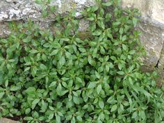 The Health Benefits of Pellitory Herb