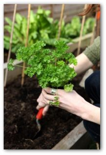 Small Space Gardening: Starting Patio Vegetables and Care Guide  #gardening #vegetable_gardening #small_space_gardening