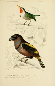 Gravures couleur d 39 oiseaux gravure oiseau 0251 perruche for Oiseau couleur