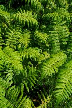 Whether you are growing classic ferns in hanging baskets or filling shady outdoor areas with the rich texture of ferns, divisions and new starts allow you to add to your fern collection at little or ...