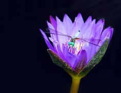 Purple Waterlily and Dragonfly on Dark Water
