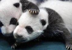 Populasi Panda Raksasa Kini Terancam Punah