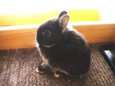 MDN's Black jack  Netherland dwarf rabbit  Silver Marten - Black