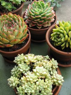 Weddings may be a lot of work, but these favors are about as low maintenance as they get. Plant succulent clippings in mini terra cotta pots for a charming favor that even those without the gift of a green thumb can enjoy year in and year out. Echeveria, Homemade Wedding Favors, Wedding Favours, Wedding Ideas, Wedding Gifts, Wedding Planning, Wedding Inspiration, Dinner Party Favors, Dinner Parties