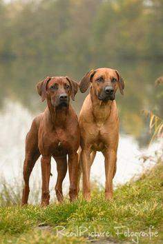 Future dog: Rhodesian Ridgeback. Originally from Zimbabwe- give it a cool zimbabwe shona name