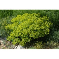 Parsley, Herbs, Plant, Small Yellow Flowers, Rock Shower, Rustic, Herb, Medicinal Plants