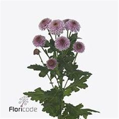 Chrysant san. doria pink is a small, multi-headed Purple cut flower. 2018 Wedding Trend: Ultra Violet Purple. For lilac and purple wedding flowers to suit your colour scheme, visit our website at www.trianglenursery.co.uk/fresh-flowers!