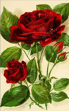 General Jacqueminot (Hybrid Remontant Rose) - high resolution image from old book. Decoupage Vintage, Art Vintage, Vintage Flowers, Vintage Images, Vintage Prints, Botanical Prints, Floral Prints, Rose Prints, Rose Art