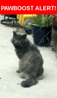 Is this your lost pet? Found in Duarte, CA 91010. Please spread the word so we can find the owner!  Looks like a Maine Coon-ish but may be Nebelung. Not fixed. Been running around herr over 4-6 months. Acted feral at first, but NOT. Very timid loving, docile. Maybe 4-5 year old male.This was someones loving  cat, very very sweet. Distinct voice  Nearest Address: Near Fish Canyon Rd & Encanto Pkwy