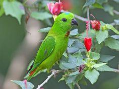 Blue-crowned Hanging-Parrot (Loriculus galgulus) by Lip Kee, via Flickr