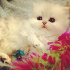 Kismet Kittens is proud to announce our newest litter of Traditional Doll Face Silver Shaded Persian kittens there'll be 7 to choose from.   Reserve early and save money! For information  Text- 813-409-8418 Web- www.kismetkittens.org Email- persiankittyinfo@aol.con