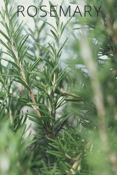 Healing Plants You Can Grow at Home: This amazing herb is anti-viral, anti-bacterial and relieves discomfort from gas. Rosemary is also a mild anti-depressant, but most importantly, it increases memory.