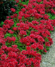 Red Stonecrop (Sedum Spurium Schorbuser Blut) is a very attractive border plant that does not mind the shade and can be used as ground cover under trees and shrubs forming an expansive red carpet. Its star-shaped red flowers stand out from its beautiful dark green, slightly red leaves. Flowers absolutely anywhere. Another advantage of these plants is that they suppress the growth of weeds