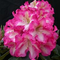 RareFind: Rare Azaleas, Rhododendrons, Trees & Shrubs, Perennials and more.  RHODODENDRON 'Consolini's Windmill'