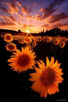 Puesta de sol Girasoles, España foto por homenaje