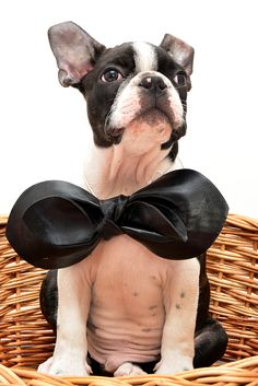 modeling Boston Terriers, Modeling, Dogs, Animals, Animales, Modeling Photography, Animaux, Boston Terrier, Pet Dogs