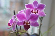 Ako sa starať o Orchideu Moth Orchid, Dendrobium Orchids, Rose, Google, Search, Landscape Photos, Paisajes, Animals, Plants
