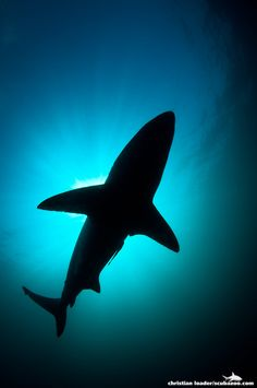 Silhouette of a Black-Tip Shark