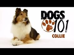 Collie Dogs 101, Rough Collie, Border Collies, Sheltie, Scotland, Wildlife, Smooth, Pets, Youtube
