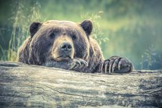 The Canadian province of British Columbia announced an outright ban on grizzly bear hunting on Monday, one month after banning trophy hunting. Free Photos, Cool Photos, Cool Pictures, Free Images, Black Bear, Brown Bear, Animal Photography, Photography Tips, Digital Photography