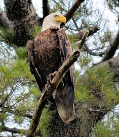 Perched After The Hunt Art Print by Bonfire Photography Bald Eagle Images, Eagle Pictures, Hunting Pictures, Animal Pictures, Hunting Art, Hunting Dogs, Women Hunting, Hunting Humor, Hunting Quotes