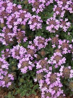 "Creeping Thyme ""Magic Carpet"" full sun perennial evergreen ground cover. Flowers all"