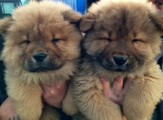 10 Things You Need To Know About Chow Chows | 3 | - Three Million Dogs
