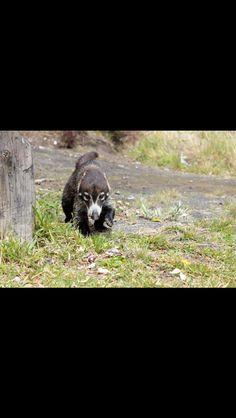 It is a Costa Rican racon it is so cute