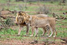 VERY angry Lion gives rival a beating after he tried to interrupt as he mated with a female