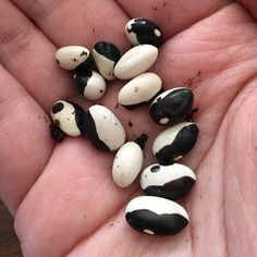 """""""Started these little beauties today!!! This is one of my favorite variety of bean. #calypso beans have a creamy flavor and are great in soups or on their own! I got these last year from @botanical_interests and they performed wonderfully!#thegranolagardener #beanstart #seedstarting #urbanfarming #urbanfarmer #holisticnutritionist #holisticnutrition #botanicalinterests"""" - thegranolagardener (Instagram)"""