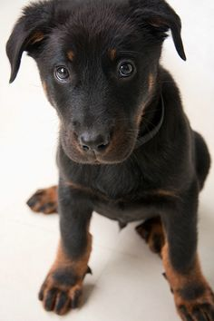 I will ALWAYS have a GSD...but if I had any other breed of dog, it would be a Beauceron! :)