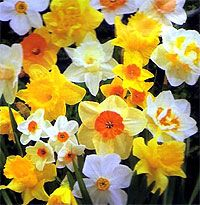 bunched varying variety of daffodils