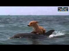 The Dolphins kept the dog afloat while they deliberately raised a ruckus until this happened. Video.