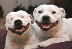 The most beautiful smiles you will ever see belong to Staffies. #StaffordshireBullTerrier