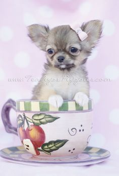 Long Haired Chihuahua in a Tea Cup