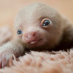 💕💘💕💓💞 Photo:Sam Trull 😘😘 via … witziges Baby Faultier! Baby Animals Super Cute, Cute Baby Dogs, Cute Little Animals, Cute Funny Animals, Cute Sloth Pictures, Baby Animals Pictures, Cute Animal Pictures, Cute Baby Sloths, Mundo Animal