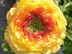 Ranunculus (Persian Buttercup) - Ranuncolo persiano by Luigi Strano