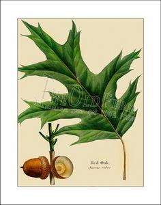 Red Oak Vintage Leaf Print Antique Maple Hickory by TheOldFern