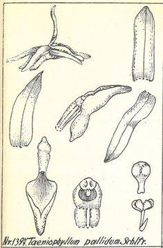 Taeniophyllum pallidum