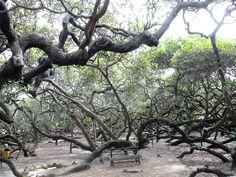 Maior cajueiro do mundo em Natal Brasil  The world's largest cashew tree in Natal Brazil