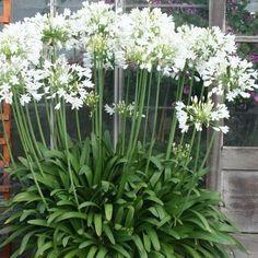 Garden Deco, Garden Art, Garden Plants, Garden Design, White Haven, African Lily, Fresh To Go, Moon Garden, Landscaping