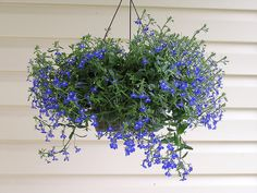 sun loving blue flowers | 10 Best Flowers for Hanging Baskets