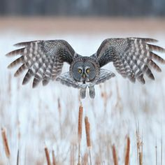 animals-animals-animals: Great Grey Owl (by Ari Hazeghi) Owl Photos, Owl Pictures, Strix Nebulosa, Owl Quilts, Owl Bags, Barred Owl, Great Grey Owl, Felt Owls, Digital Photography School