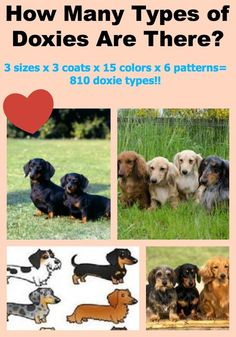 Aley's Virtual Gym — How Many Types of Doxies Are There? Baby Dachshund, Daschund, Weenie Dogs, Doggies, Miniature Dachshunds, German Dogs, Dog Rules, I Love Dogs, Cute Dogs