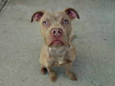 SAFE - 4/16/14 Brooklyn Center  ARMOR - A0995331  MALE, TAN / WHITE, PIT BULL MIX, 9 mos STRAY - STRAY WAIT, NO HOLD Reason STRAY  Intake condition NONE Intake Date 03/31/2014, From NY 11207, DueOut Date 04/03/2014, https://www.facebook.com/photo.php?fbid=781105608568987&set=a.784227764923438.1073743097.152876678058553&type=3&theater