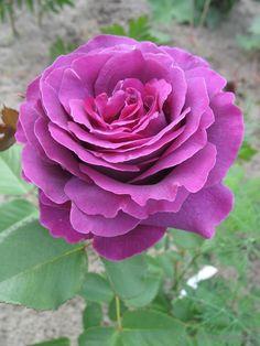 'Parfum de Reve' | Hybrid Tea Rose. Laperriere France 2011