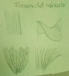 Estas formas tienen los músculos y es bueno conocerlas para así tomarlas en cuenta cuando realicemos el masaje.