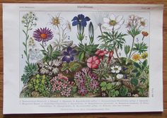 1916 ALPENBLUMEN 2 Farbdrucke Antique Prints Lithografie Botanik Blumen