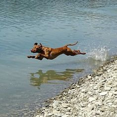 The flying vizsla